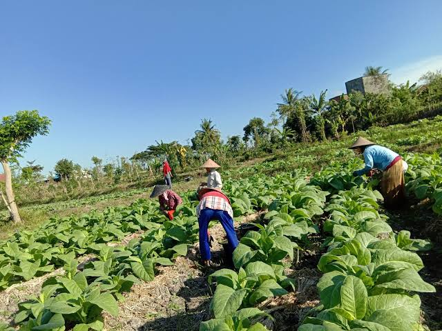 Di masa Pandemi, Petani Sakbar Tetap Tanam Tembakau & Keluhkan Harga Produksi Tinggi